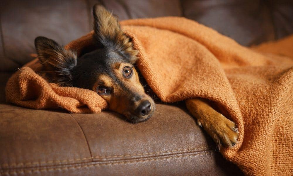natural remedies for your stressed out dog