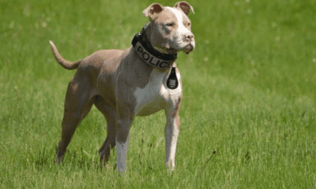 New York's first pit bull k9 officer