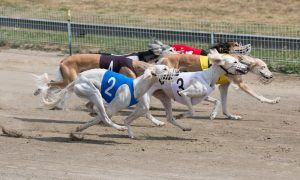greyhounds tested positive for cocaine