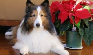 dog-safe holiday plants