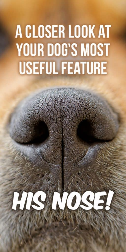 A Closer Look at Your Dog's Most Useful Feature – His Nose!