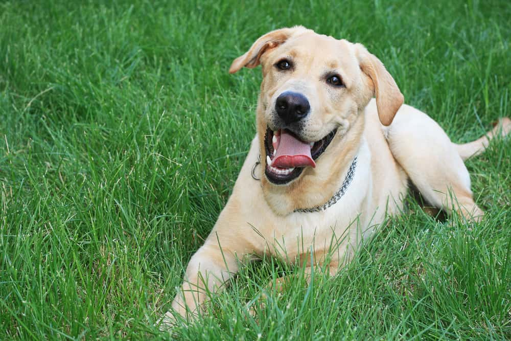 This Natural Cure Erased My Dogs Joint Pain in Less Than 5 Days