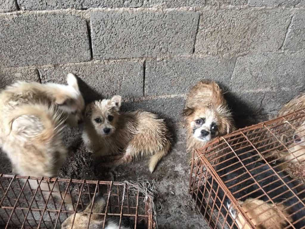 Activists Rescue 62 Dogs from Yulin Slaughterhouse - The
