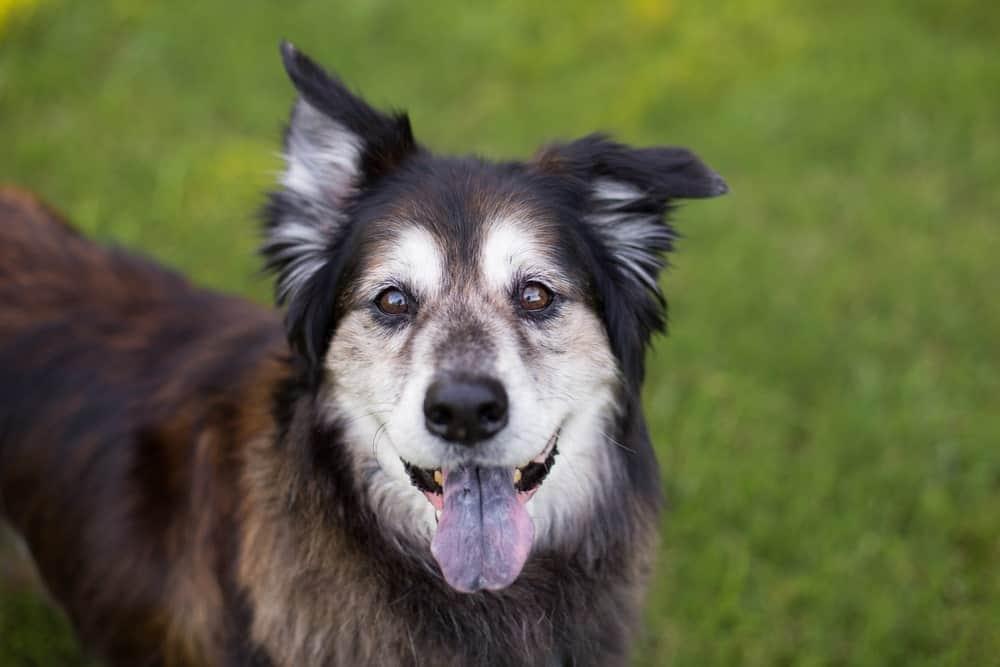 dog aging