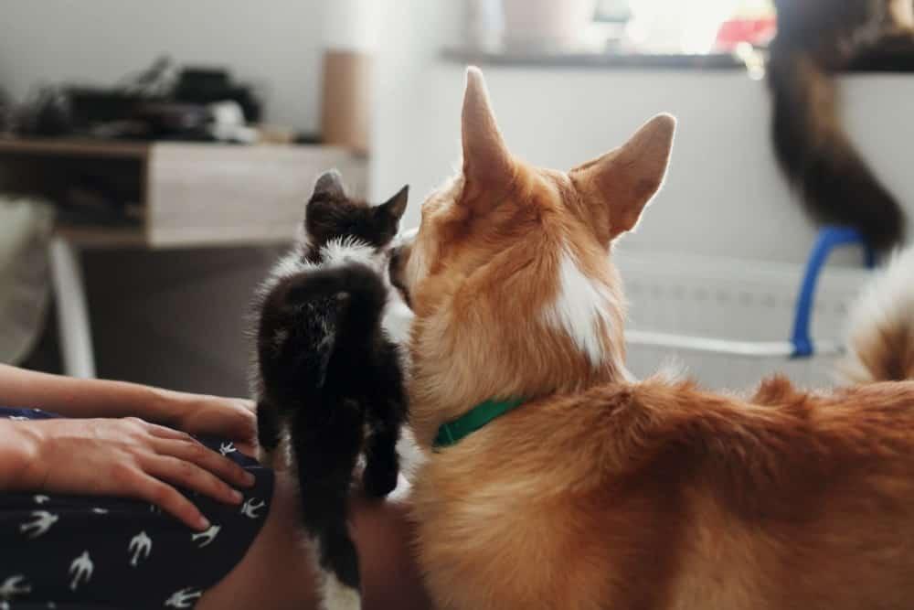 introducing a cat