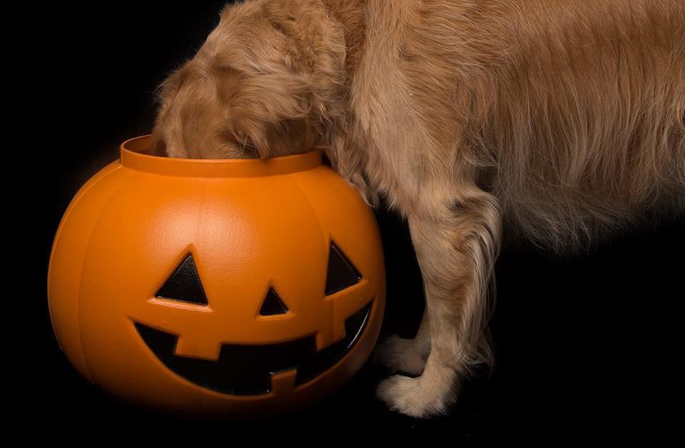 dog ate pumpkin