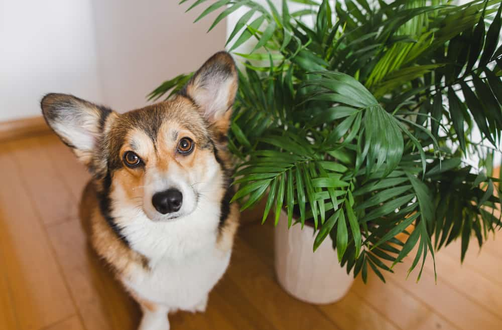 plants toxic to dogs